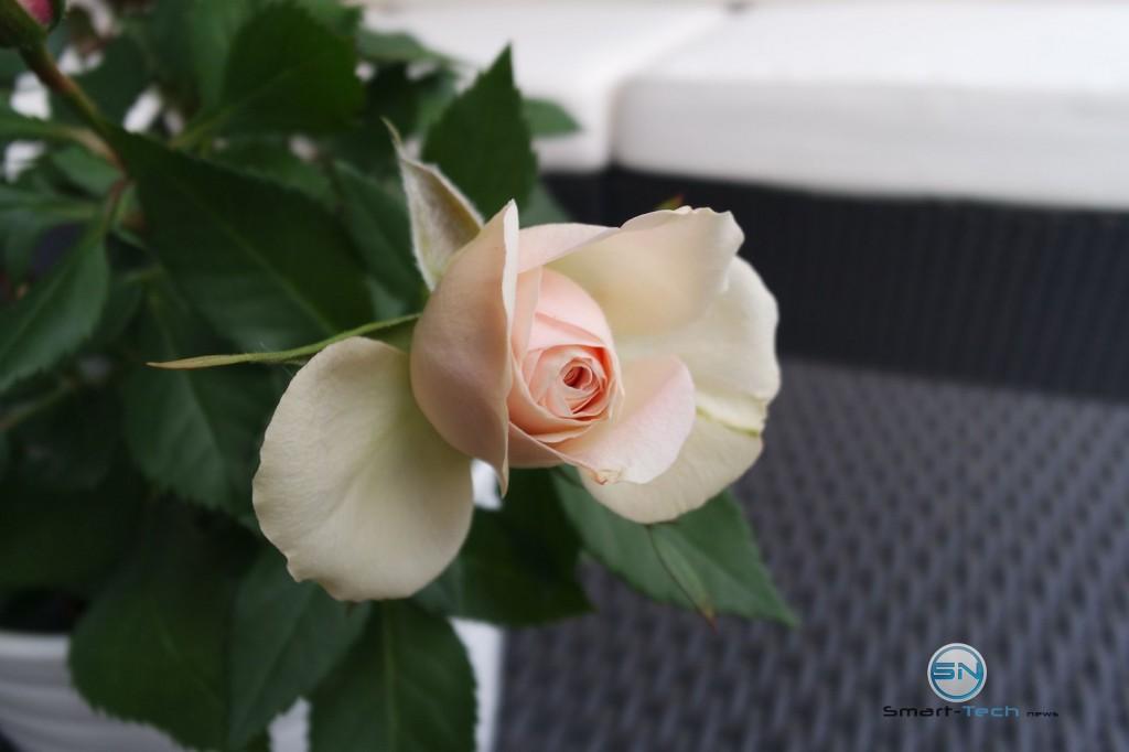 Rose in Detailaufnahme - Nokia Lumia 930 - SmartTechNews